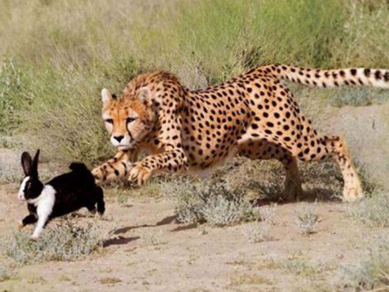 De-Wildt-Cheetah-Research-Project3
