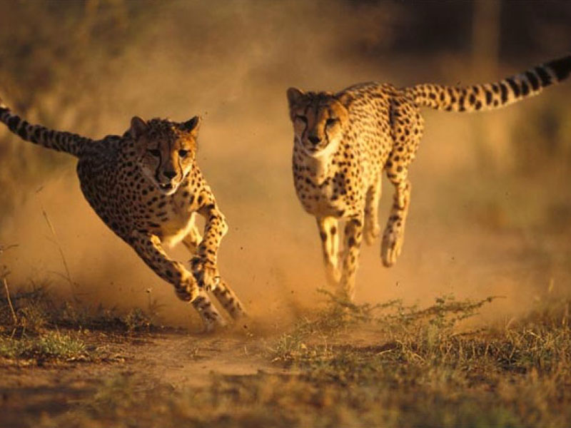 De-Wildt-Cheetah-Research-Project4
