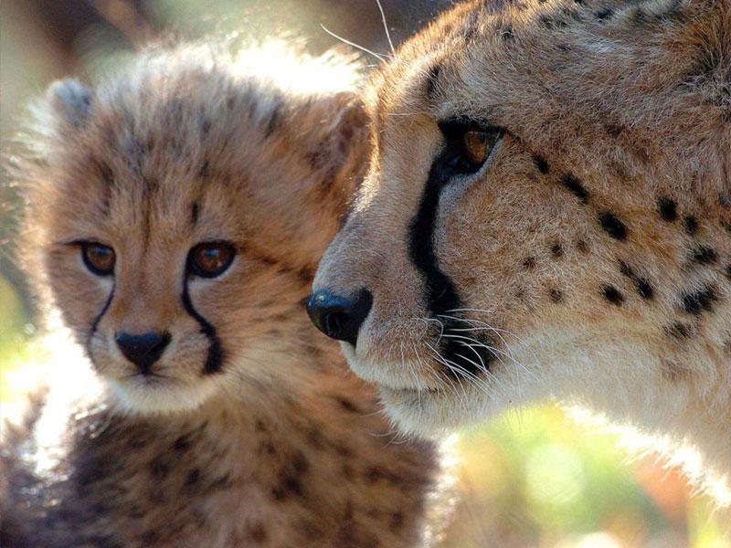 De-Wildt-Cheetah-Research-Project7