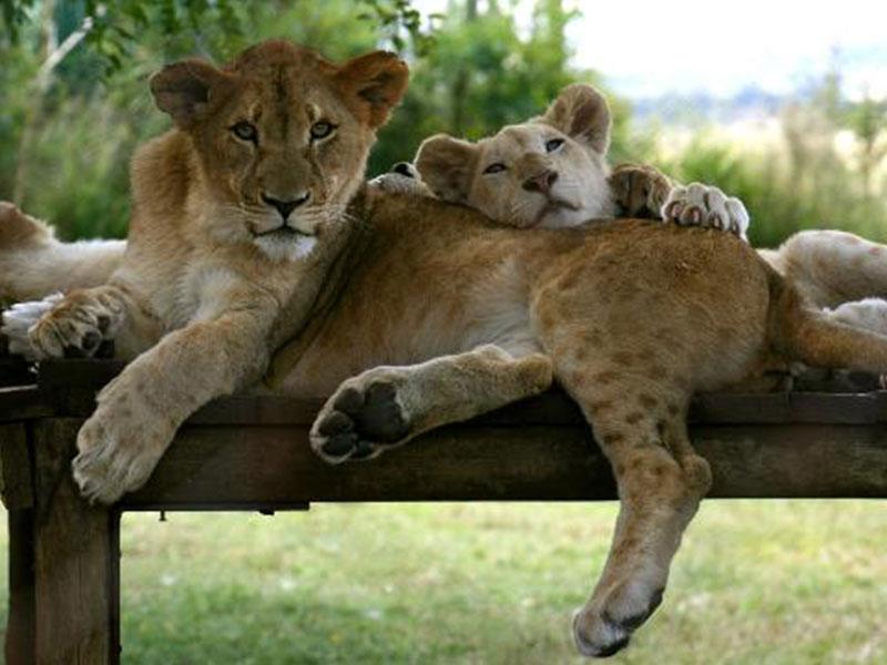 The-Lion-and-Safari-Park-Tours1