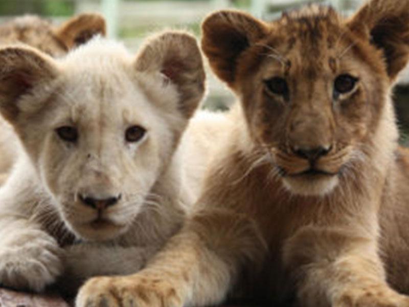 The-Lion-and-Safari-Park-Tours3
