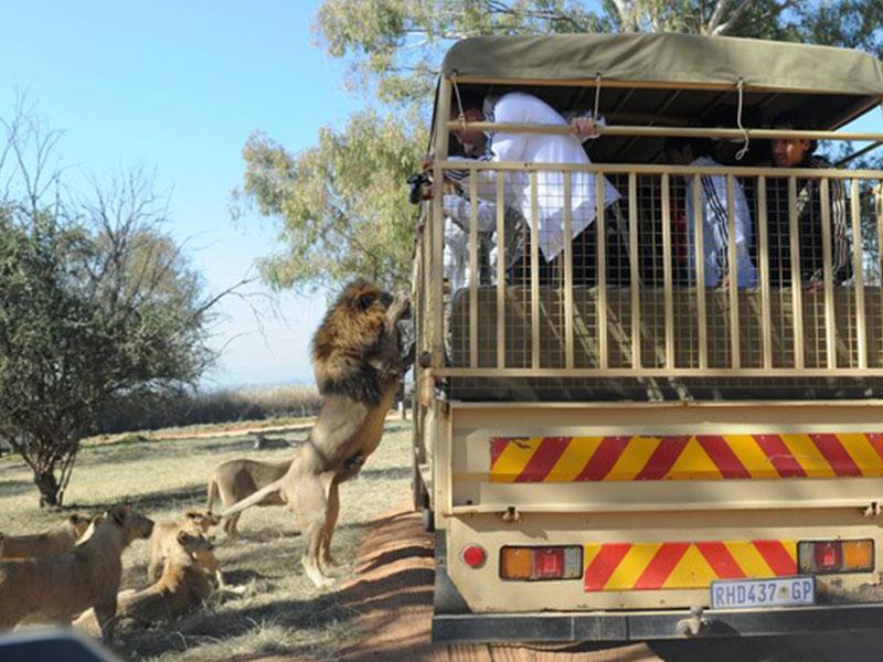 The-Lion-and-Safari-Park-Tours4